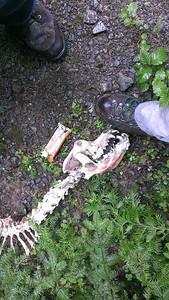 Cougar (?) Skeleton we found