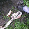 Cougar (?) Skeleton we found
