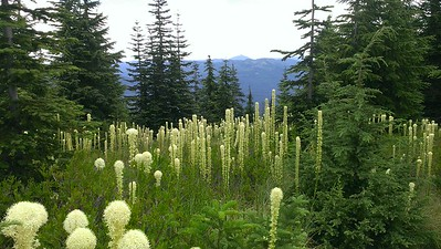 Olallie Butte in the distance - beargrass blooms