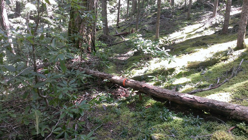 This doesn't show up nearly as well as in person - this was BEAUTIFUL trail, even though the tread was covered in moss.