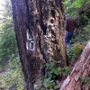 Old Benchmark on a tree on Old Memaloose trail (above road 45)
