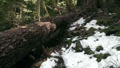 Where tree crosses the trail - this is going to tough to remove with crosscut saws.