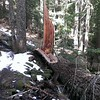 Big blowdown on Memaloose Trail