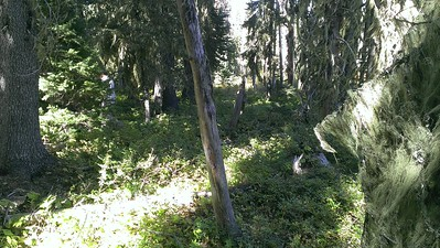 Row of fenceposts still standing (mostly) on old Skyline trail near Olallie Meadow