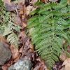 Evergreen Wood Fern (Dryopteris intermedia)