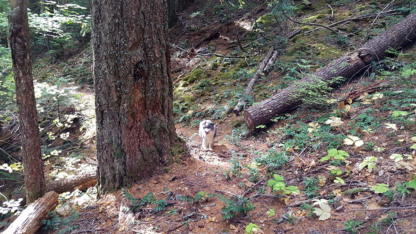 Old Blaze next to trail on a BIG tree on the lower section of Cottonwood Meadows