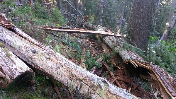 This is uphill from that mess.  It was several trees that came down all in the same general area.