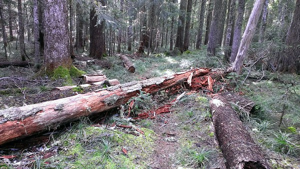 LOTS of blowdown on trail - this is one of many