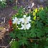 Lillies on Thunder Mountain trail