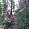 Tidbits Mountain Trail goes thru beautiful old growth
