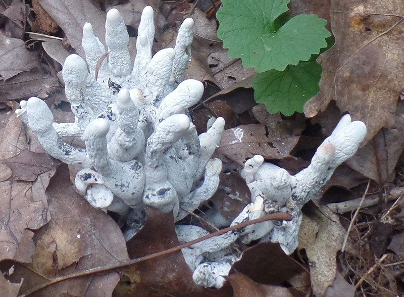 Dead Man's Fingers fungus (Xylaria polymorpha)