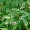 Panicled-leaf Tick-trefoil (Desmodium paniculatum)