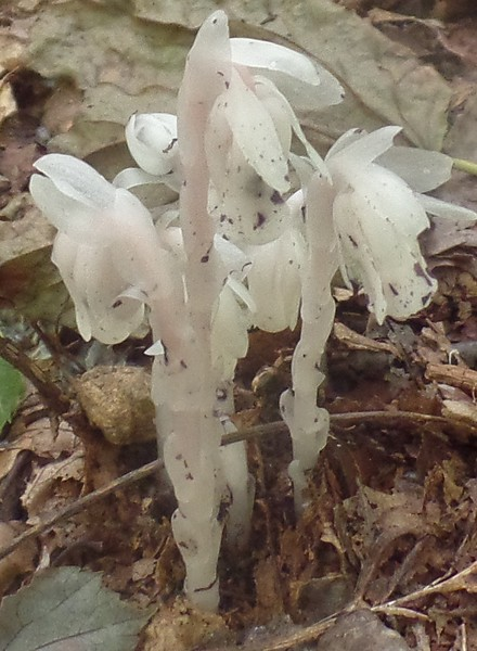 Indian Pipe (Monotropa uniflora)