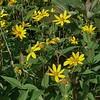 Pale-leaved Sunflower (Helianthus strumosus)