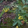 Entire-leaf Yellow False Foxglove (Aureolaria laevigata)