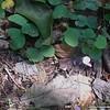 Round-leaf Tick-trefoil (Desmodium rotundifolium)