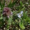 Purple Dead Nettle (Lamium purpureum) and Wild Pansy (Viola bicolor)