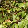 Amur Honeysuckle (Lonicera maackii)