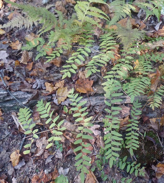 Marginal Wood Fern (Dryopteris marginalis) and Royal Fern (Osmunda spectabilis)