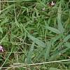 Panicled Tick-trefoil (Desmodium paniculatum)