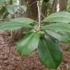 American Holly (Ilex opaca)
