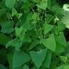 Mile-a-minute Vine aka Asiatic Tearthumb (Persicaria perfoliata)