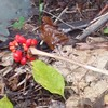Jack-in-the-pulpit berries (Arisaema triphyllum)