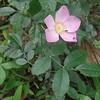 Pasture Rose (Rosa carolina)