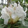 Great Laurel (Rhododendron maximum)
