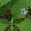 Narrow-leaved Blue-eyed-grass (Sisyrinchium angustifolium)