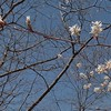 Serviceberry (Amelanchier)