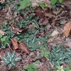 Downy Rattlesnake-plantain (Goodyera pubescens)
