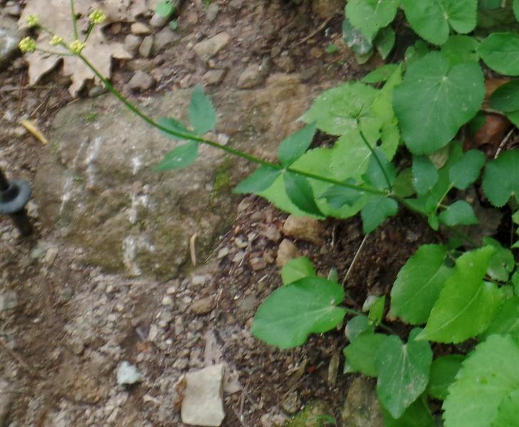 Heart-leaf Golden-alexanders (Zizia aptera)