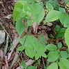 Yellow Pimpernel (Taenidia integerrima)