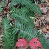 Christmas Fern (Polystichum acrostichoides) and Red Maple (Acer rubrum)