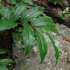 False Solomon's-seal (Maianthemum racemosum)