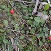 Partridge-berry (Mitchella repens)