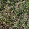Henbit  (Lamium amplexicaule) top and  Purple Dead-nettle Lamium purpureum) bottom right