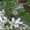 Allegheny Blackberry (Rubus allegheniensis)