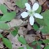 Common Dewberry (Rubus flagellaris)