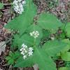 Four-leaf Milkweed Asclepias quadrifolia