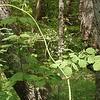 Leatherleaf Meadow-rue (Thalictrum coriaceum) female