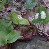 Canada Mayflower (Maianthemum candense)