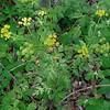 Hairy-jointed (Meadow Parsnip Thaspium barbinode)