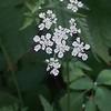 Southern Wild Chervil (Chaerophyllum tainturieri)
