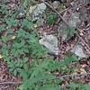 Wild Lettuce (Lactuca canadensis)