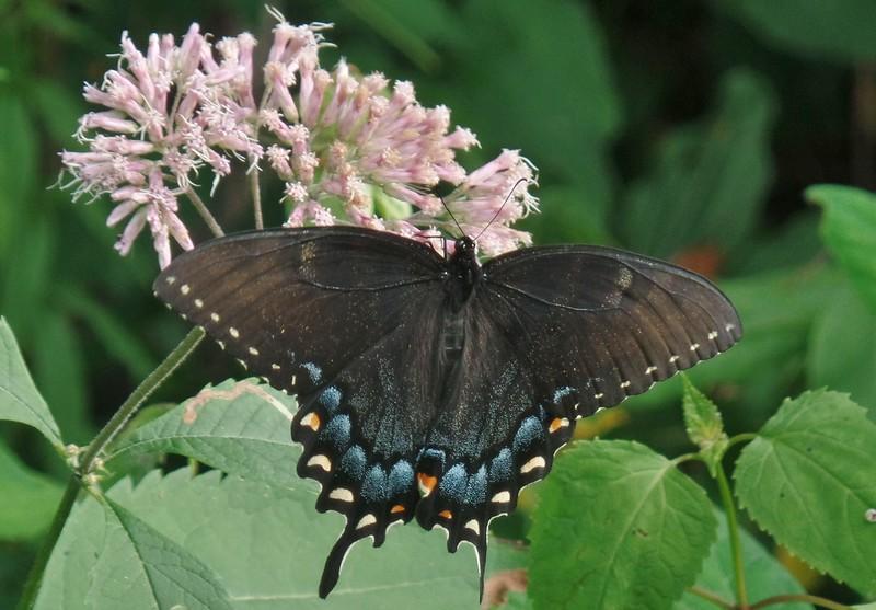 Tiger Swallowtail butterfly (Pterourus glaucus) on Sweet-scented Joe-pye-weed (Eutrochium purpureum)