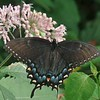 Tiger Swallowtail butterfly (Pterourus glaucus) on Sweet-scented Joe-pye-weed (Eutrochium purpureum)