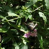 Eastern Black Swallowtail butterfly (Papilio polyxenes)