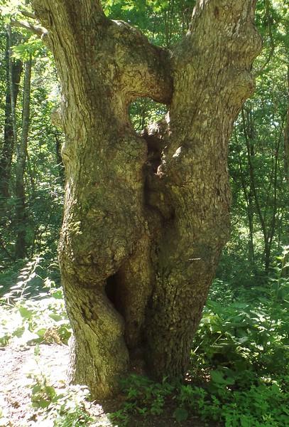 Pass Mountain kissing tree